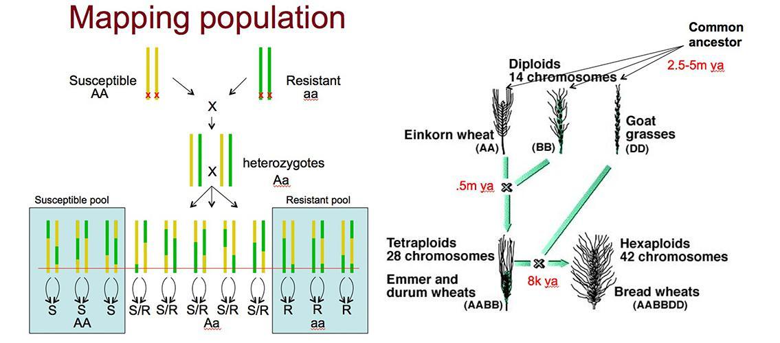 genetic maps of wheat