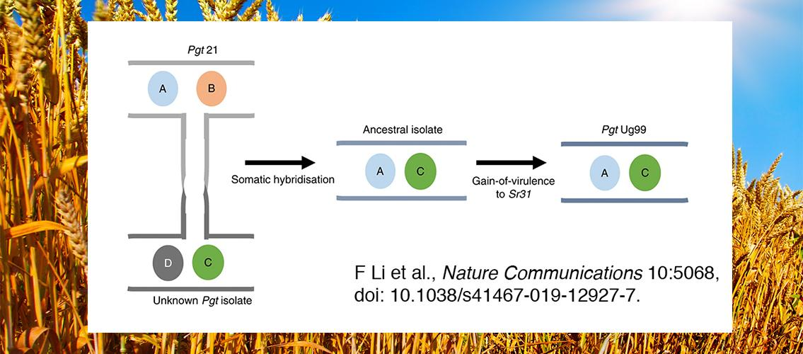 graphic showing amodel for Ug99 origin by somatic hybridization and nuclear exchange; wheat field in background
