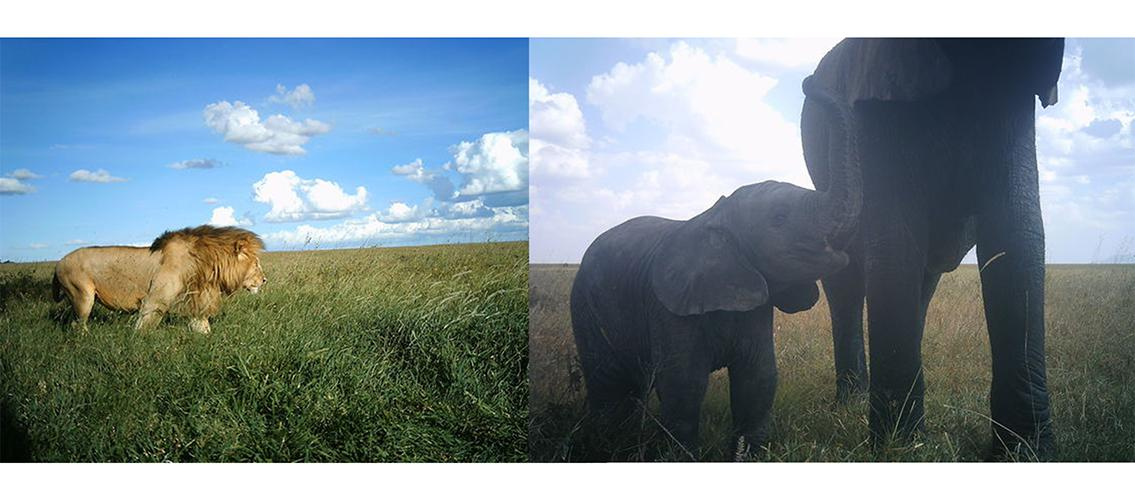 two pictures of animals, one of a lion, and one of a mother elephant and calf