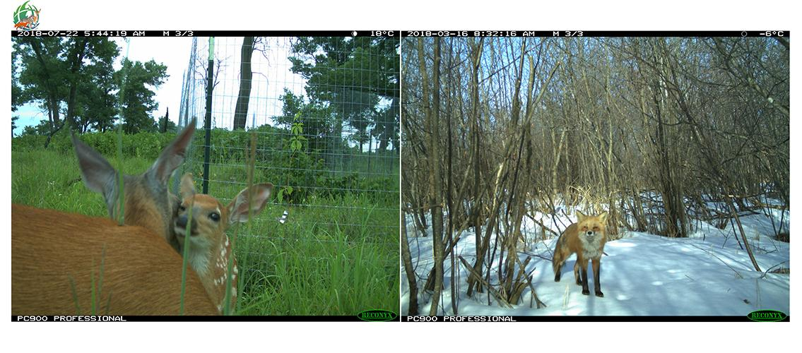 camera-trap photos; on the right is a deer and fawn and on the left is a red fox