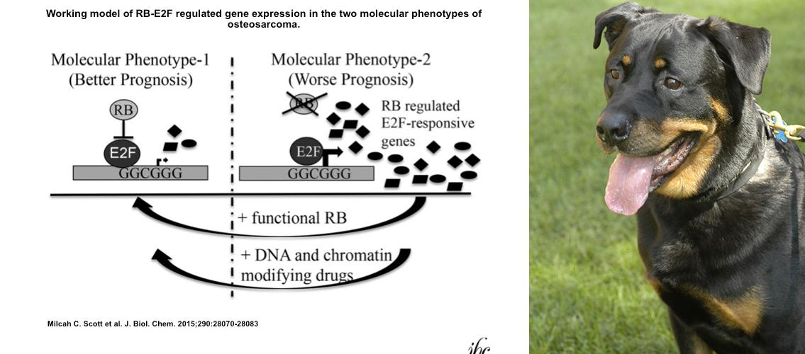 diagram of osteosarcoma phenotypes; Rottweiler dog