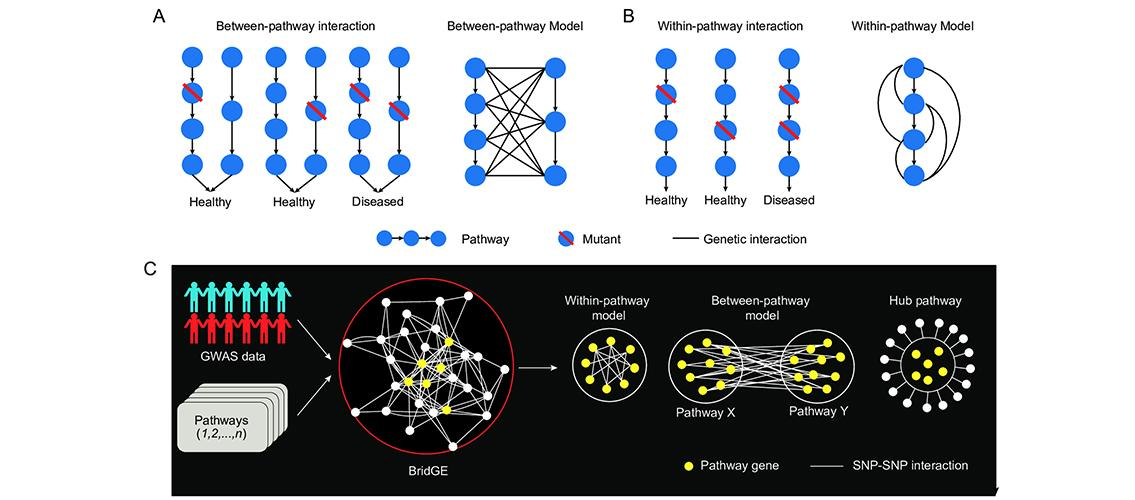 diagrams showing pathway-level genetic interaction models
