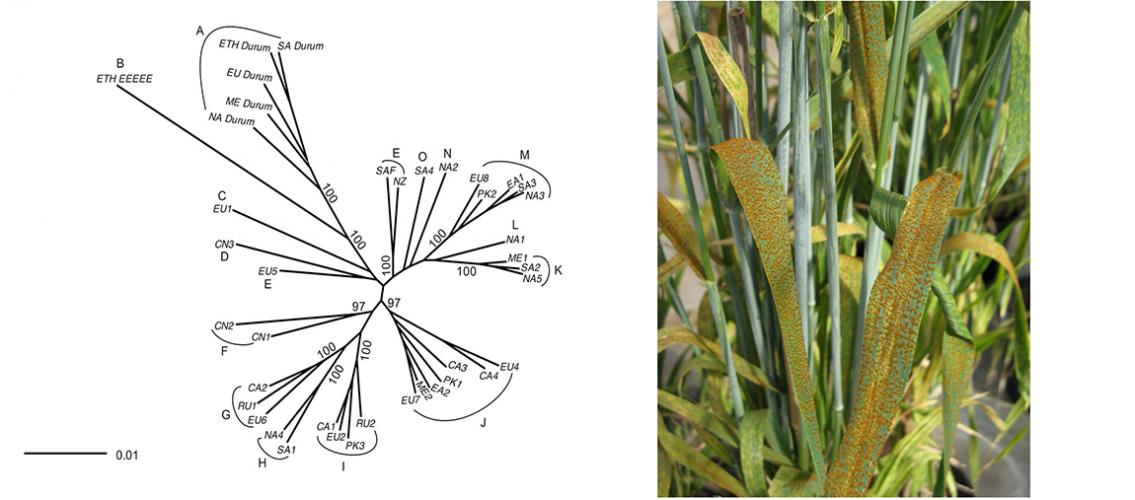association graph of genotype groups; photo of wheat leaf rust