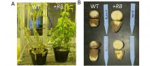 pictures of potato plants affected by late blight