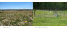 photos of NutNet sites in Bogong, Australia and Cedar Creek, Minnesota, USA