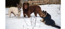 photo of three dogs in the snow