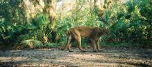 Florida panther in wilderness
